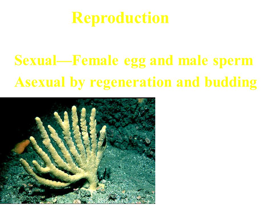 Reproduction Sexual Sexual—Female egg and male sperm Asexual by regeneration and budding