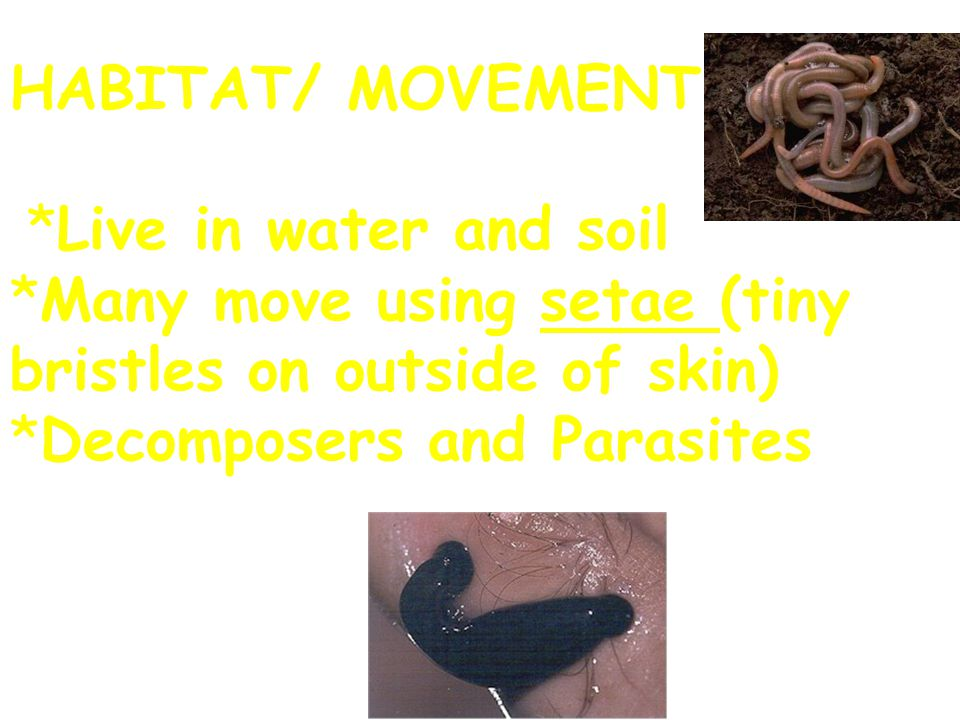 HABITAT/ MOVEMENT *Live in water and soil *Many move using setae (tiny bristles on outside of skin) *Decomposers and Parasites