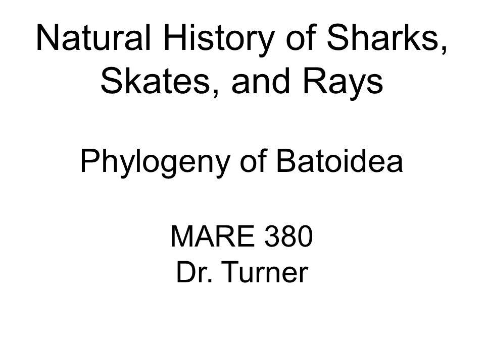 Natural History of Sharks, Skates, and Rays Phylogeny of Batoidea MARE 380 Dr. Turner
