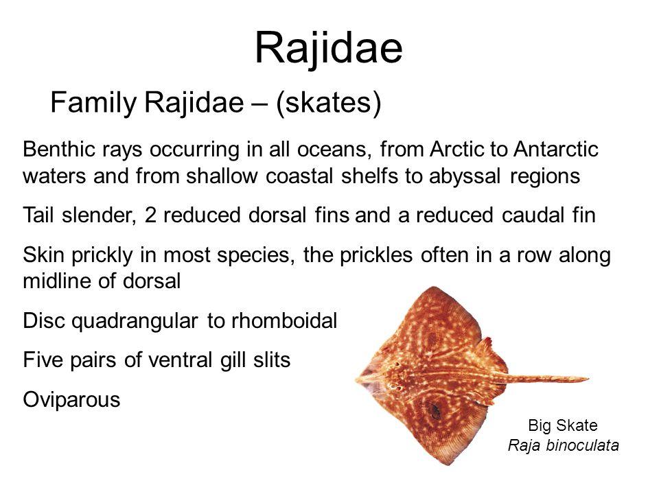 Rajidae Family Rajidae – (skates) Big Skate Raja binoculata Benthic rays occurring in all oceans, from Arctic to Antarctic waters and from shallow coa