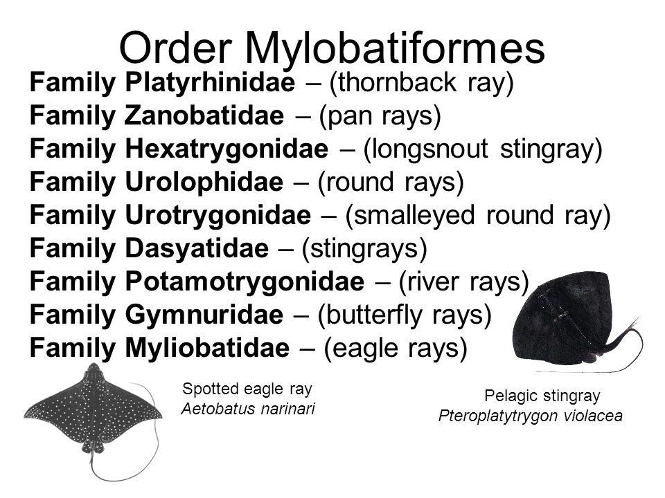Order Mylobatiformes Family Platyrhinidae – (thornback ray) Family Zanobatidae – (pan rays) Family Hexatrygonidae – (longsnout stingray) Family Urolop
