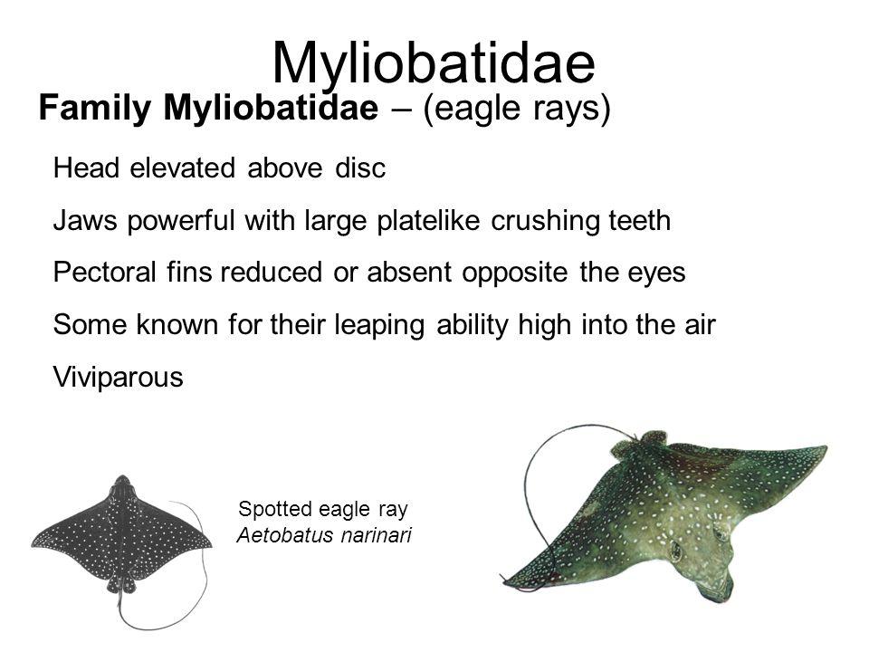 Myliobatidae Family Myliobatidae – (eagle rays) Spotted eagle ray Aetobatus narinari Head elevated above disc Jaws powerful with large platelike crush
