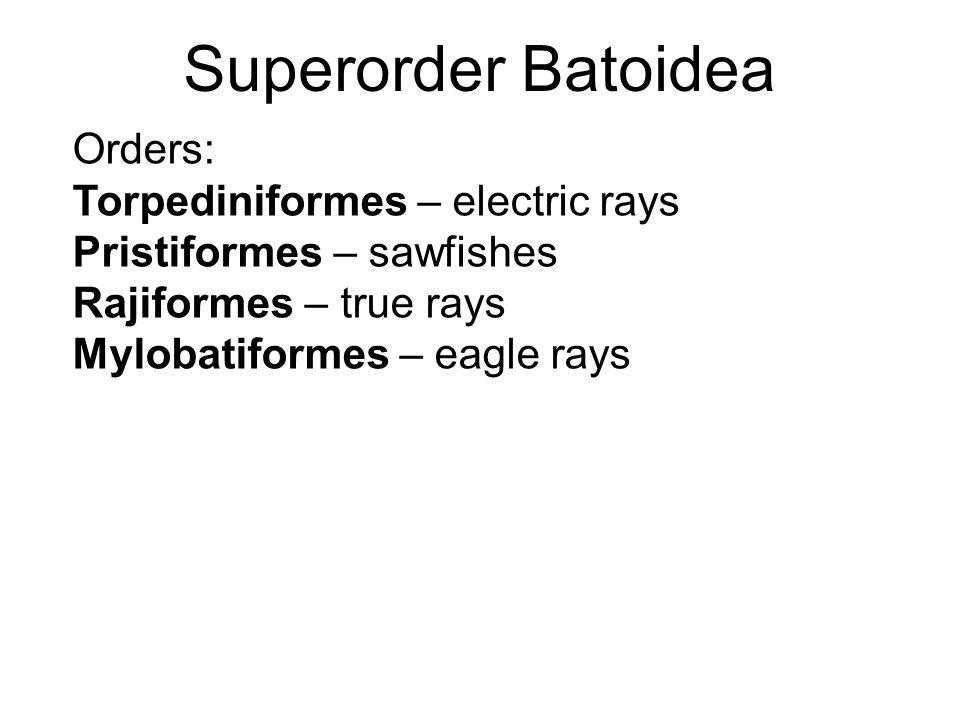 Superorder Batoidea Orders: Torpediniformes – electric rays Pristiformes – sawfishes Rajiformes – true rays Mylobatiformes – eagle rays