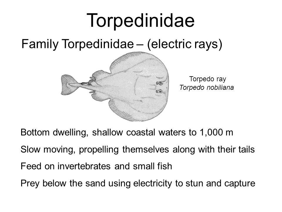 Torpedinidae Family Torpedinidae – (electric rays) Torpedo ray Torpedo nobiliana Bottom dwelling, shallow coastal waters to 1,000 m Slow moving, prope