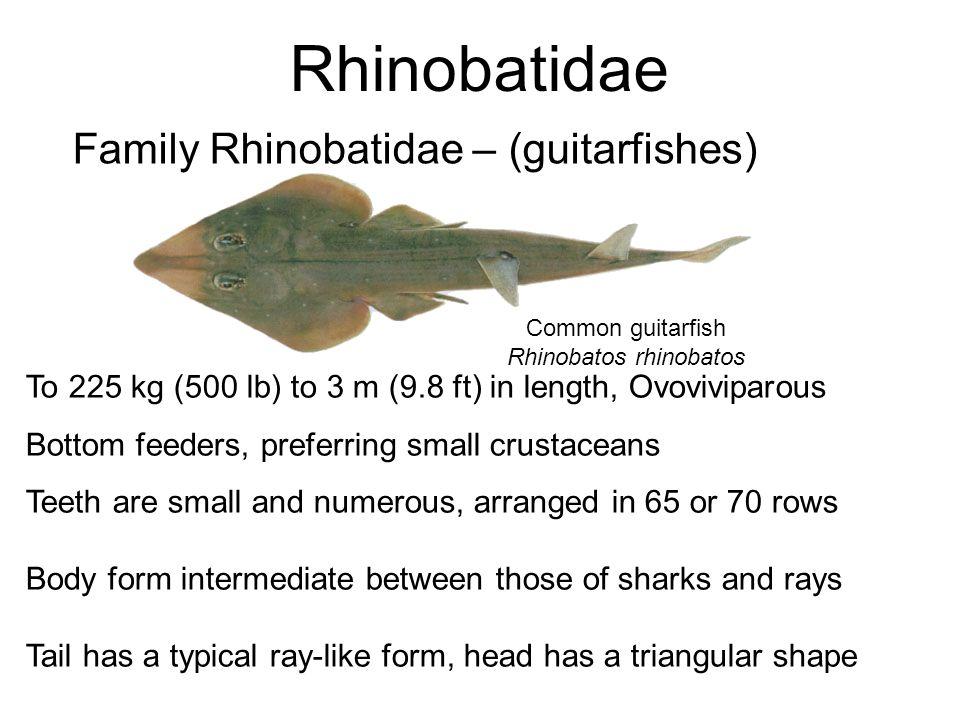 Rhinobatidae Family Rhinobatidae – (guitarfishes) Common guitarfish Rhinobatos rhinobatos To 225 kg (500 lb) to 3 m (9.8 ft) in length, Ovoviviparous