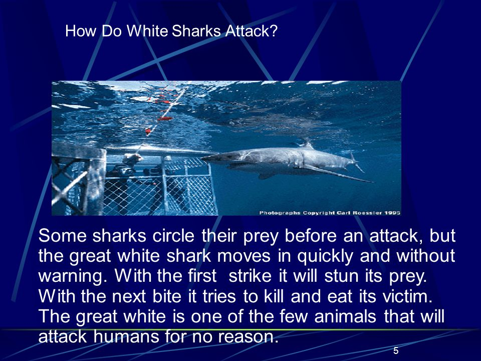 5 Some sharks circle their prey before an attack, but the great white shark moves in quickly and without warning.