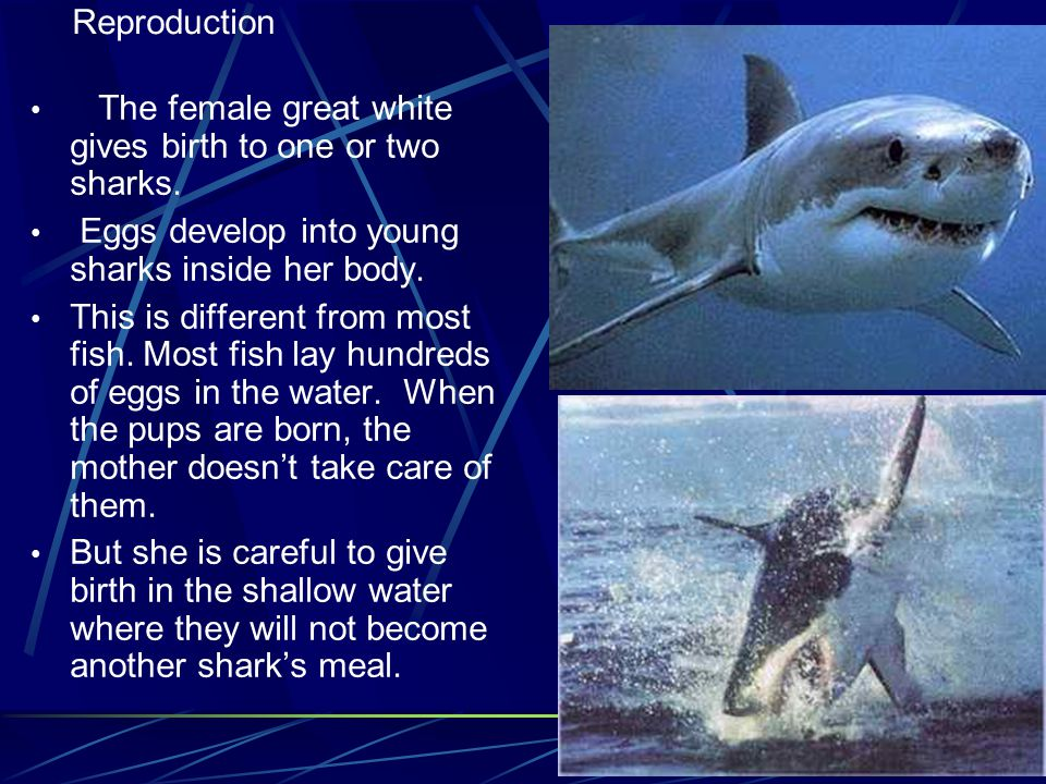7 The female great white gives birth to one or two sharks.