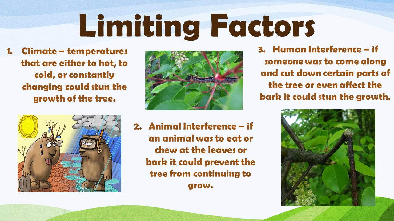 Limiting Factors 1.Climate – temperatures that are either to hot, to cold, or constantly changing could stun the growth of the tree.