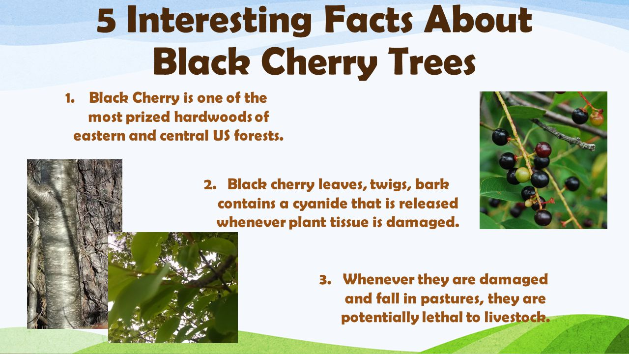 5 Interesting Facts About Black Cherry Trees 1.Black Cherry is one of the most prized hardwoods of eastern and central US forests.