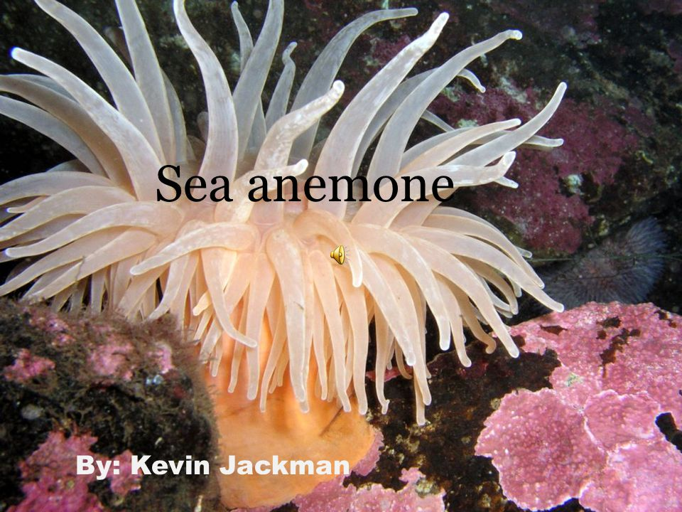 By: Kevin Jackman Sea anemone