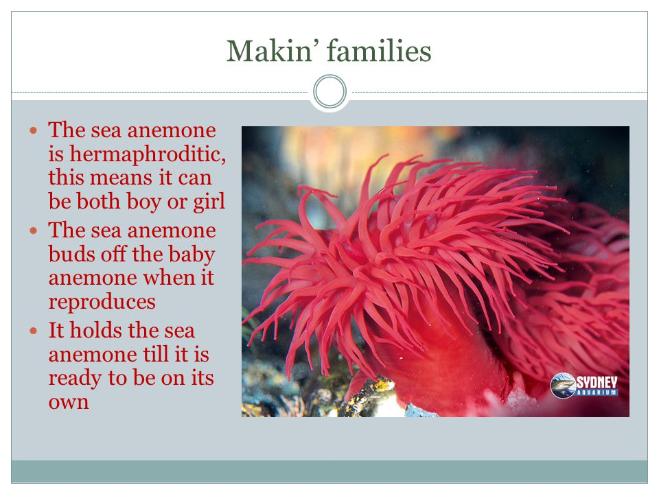 Makin' families The sea anemone is hermaphroditic, this means it can be both boy or girl The sea anemone buds off the baby anemone when it reproduces