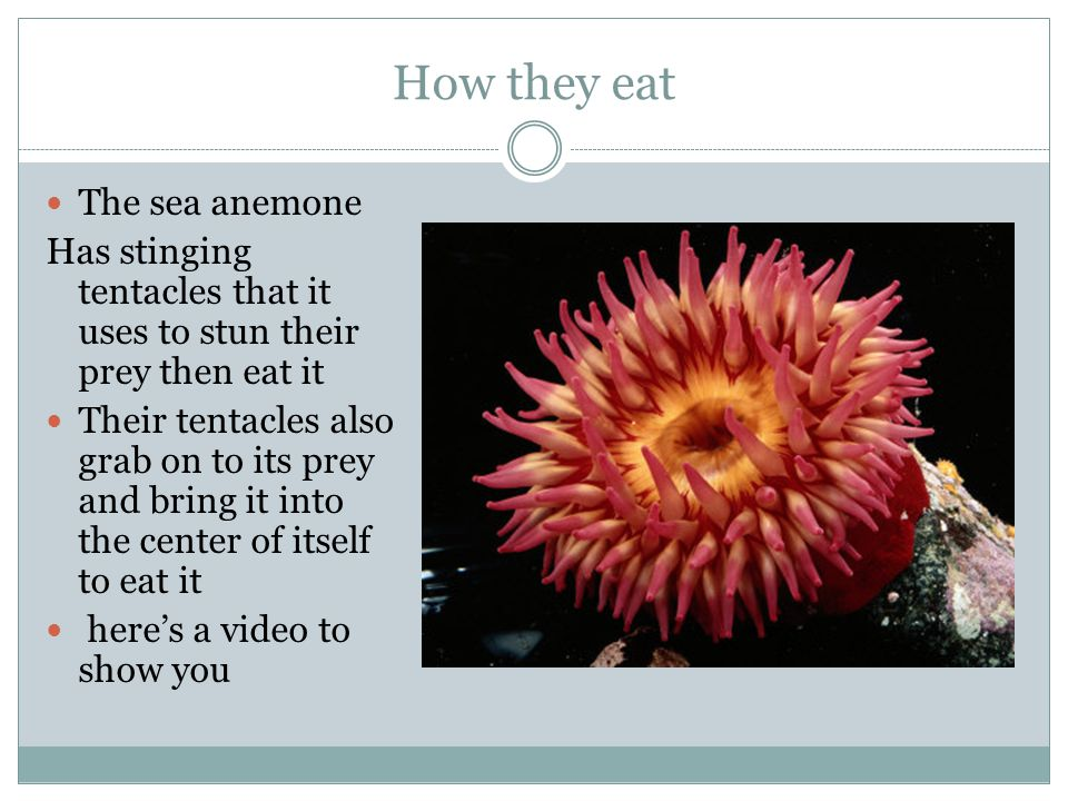 How they eat The sea anemone Has stinging tentacles that it uses to stun their prey then eat it Their tentacles also grab on to its prey and bring it