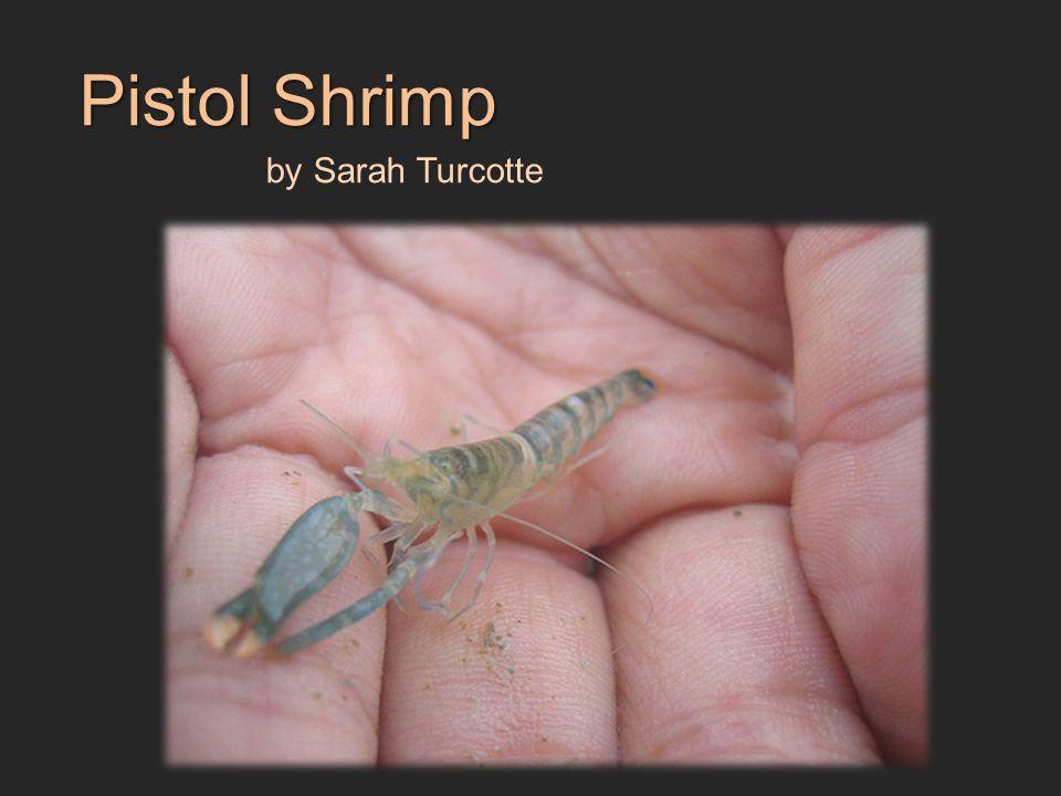 Pistol Shrimp by Sarah Turcotte