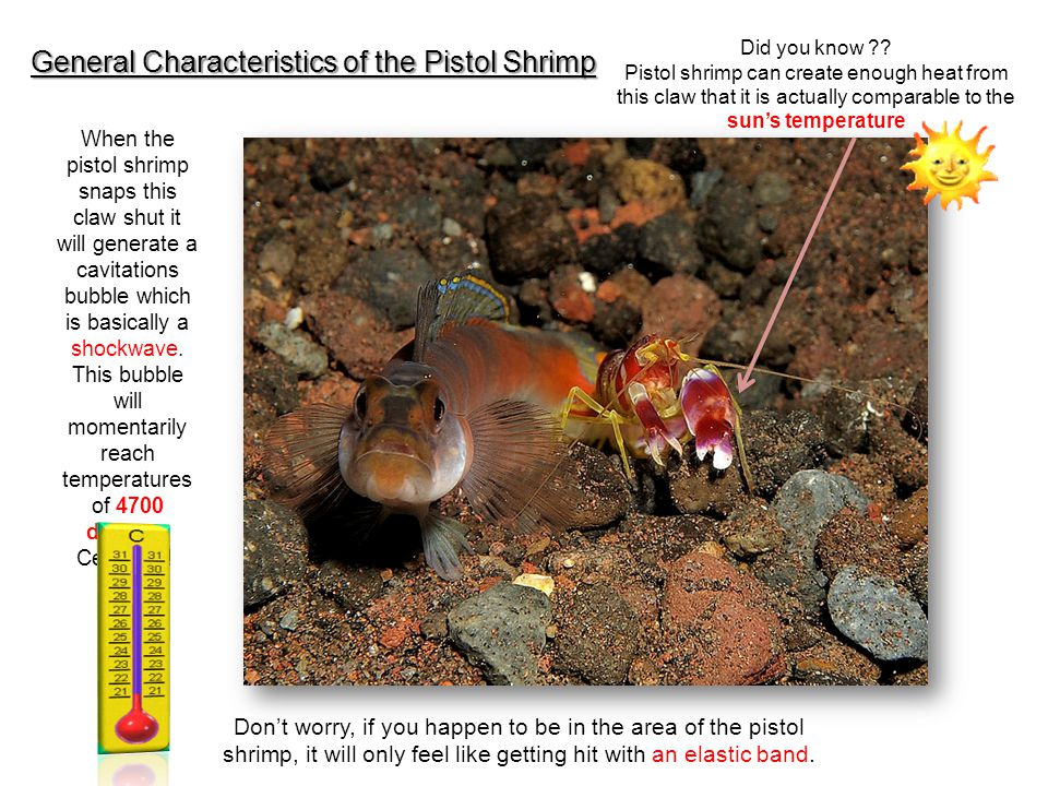 General Characteristics of the Pistol Shrimp Did you know ?? Pistol shrimp can create enough heat from this claw that it is actually comparable to the