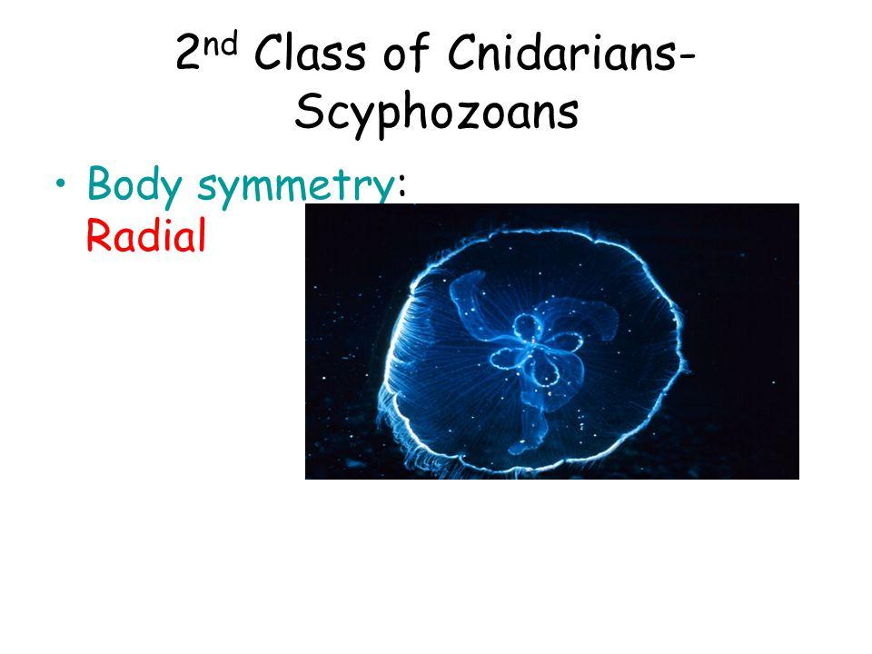 2 nd Class of Cnidarians- Scyphozoans Body symmetry: Radial