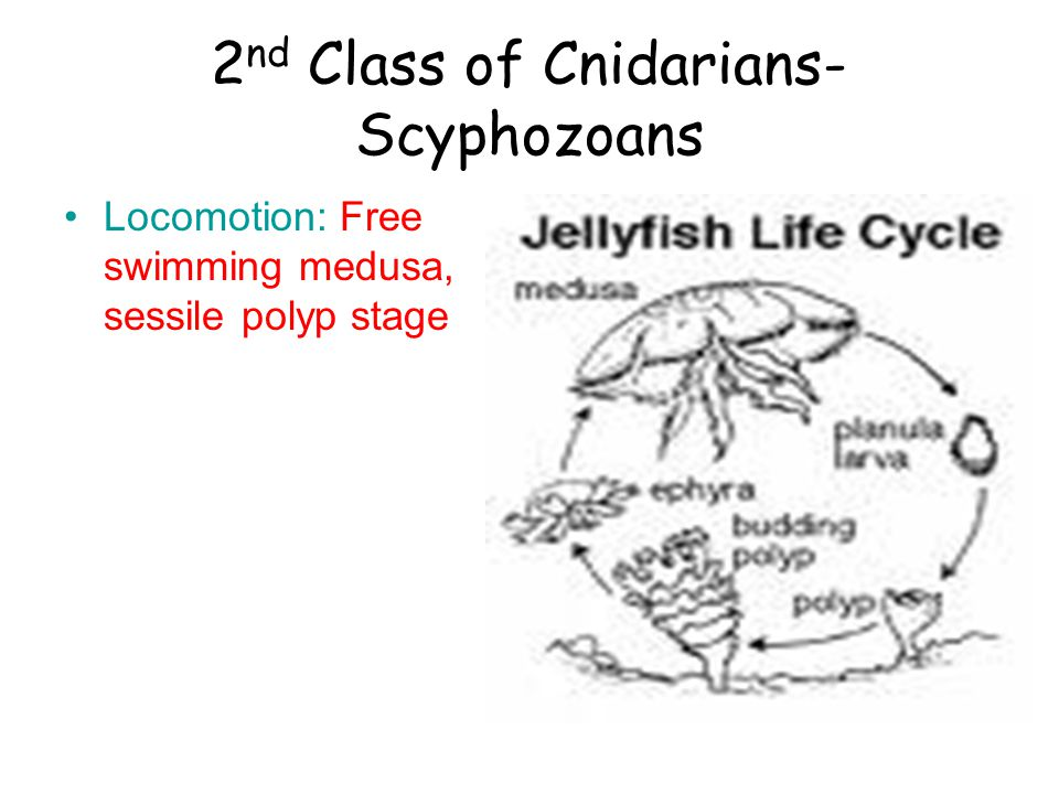 2 nd Class of Cnidarians- Scyphozoans Locomotion: Free swimming medusa, sessile polyp stage