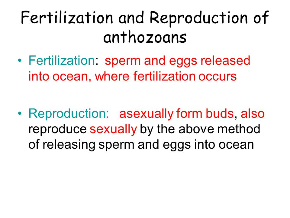 Fertilization and Reproduction of anthozoans Fertilization: sperm and eggs released into ocean, where fertilization occurs Reproduction: asexually for