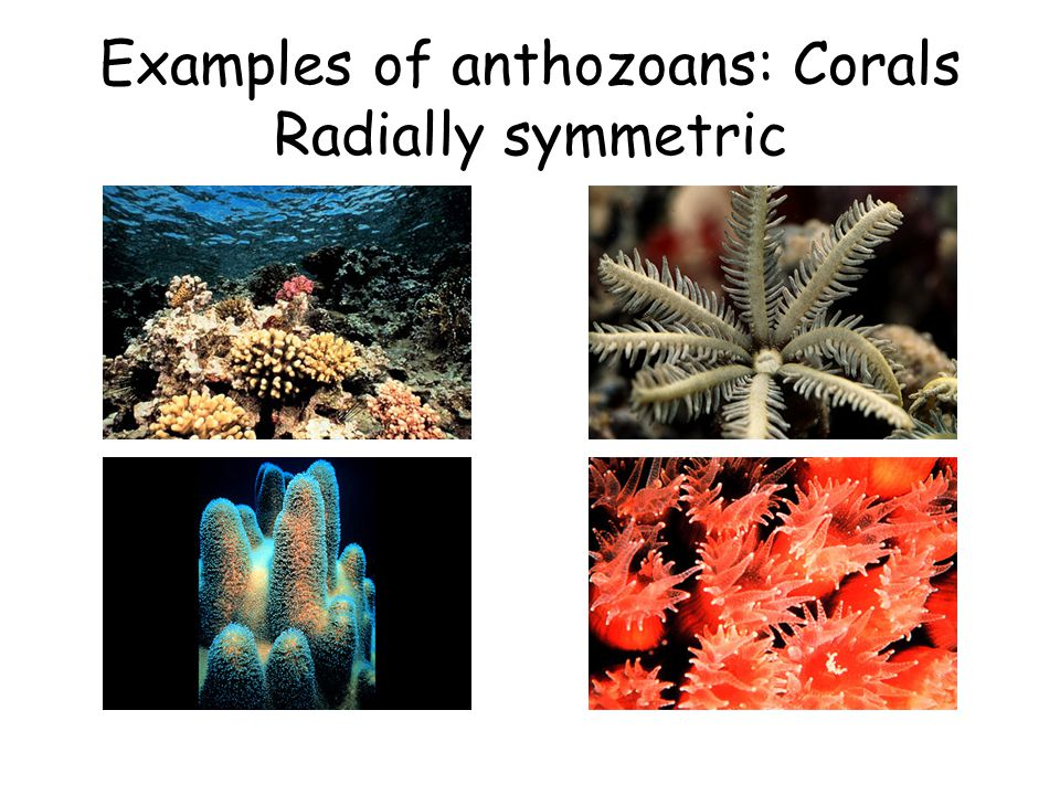 Examples of anthozoans: Corals Radially symmetric