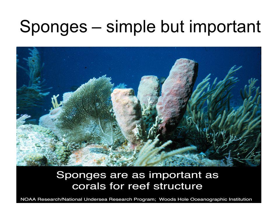 Sponges – simple but important