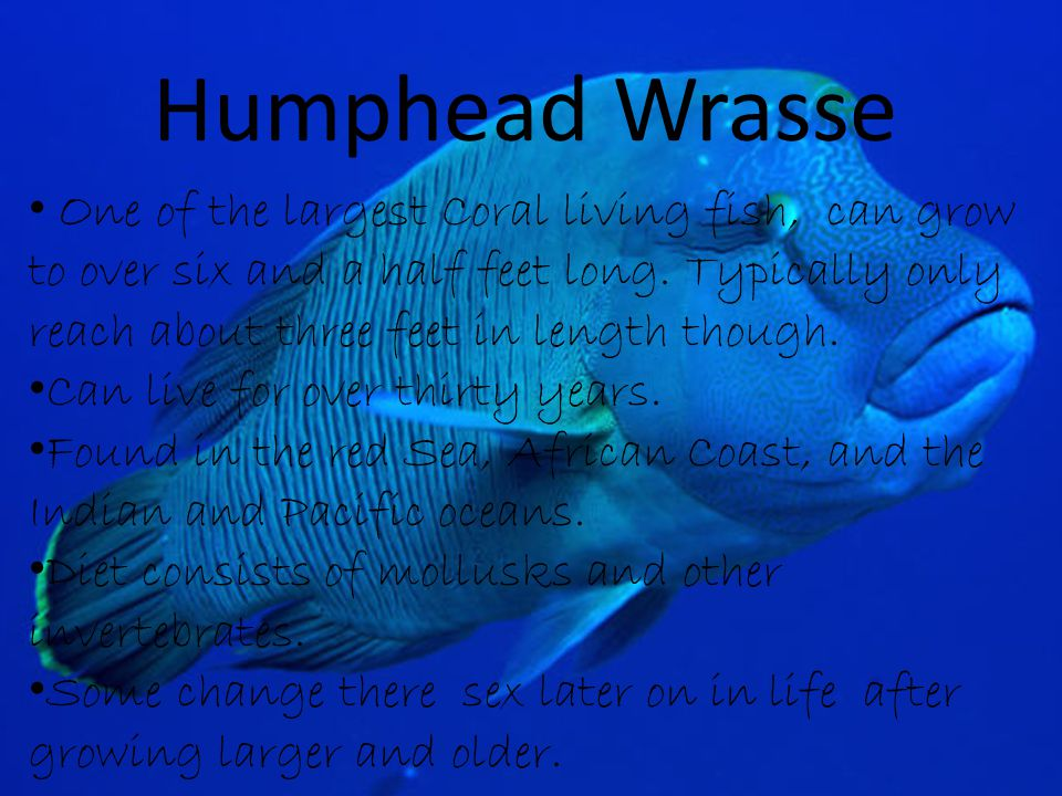 Humphead Wrasse One of the largest Coral living fish, can grow to over six and a half feet long.