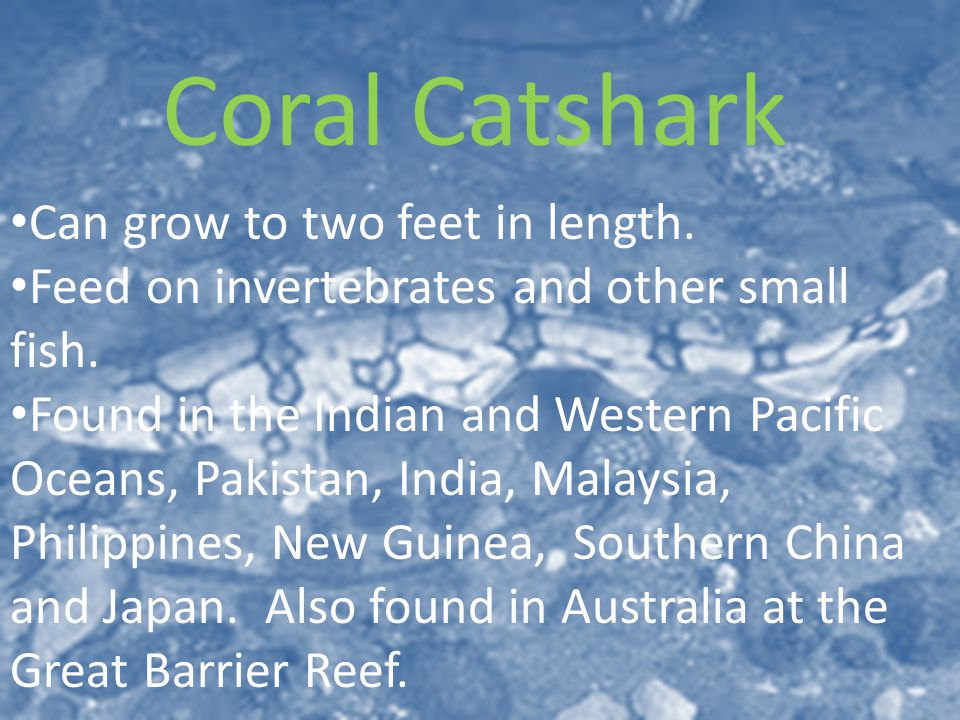 Coral Catshark Can grow to two feet in length. Feed on invertebrates and other small fish.