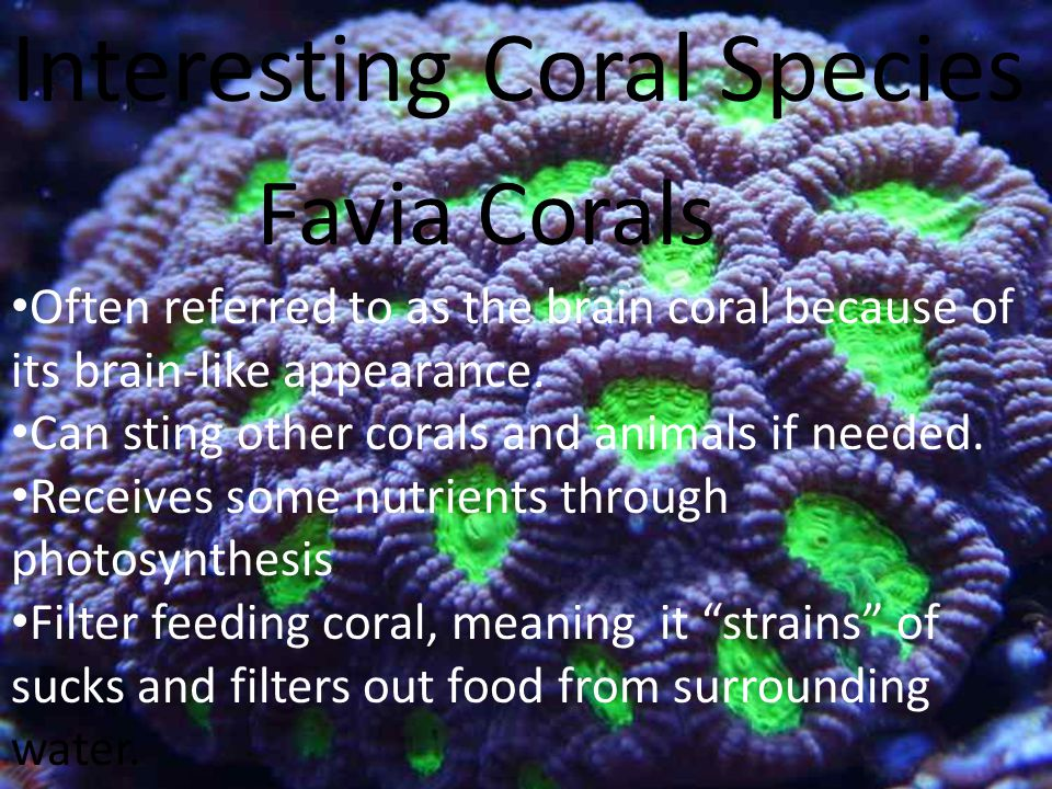 Interesting Coral Species Often referred to as the brain coral because of its brain-like appearance.
