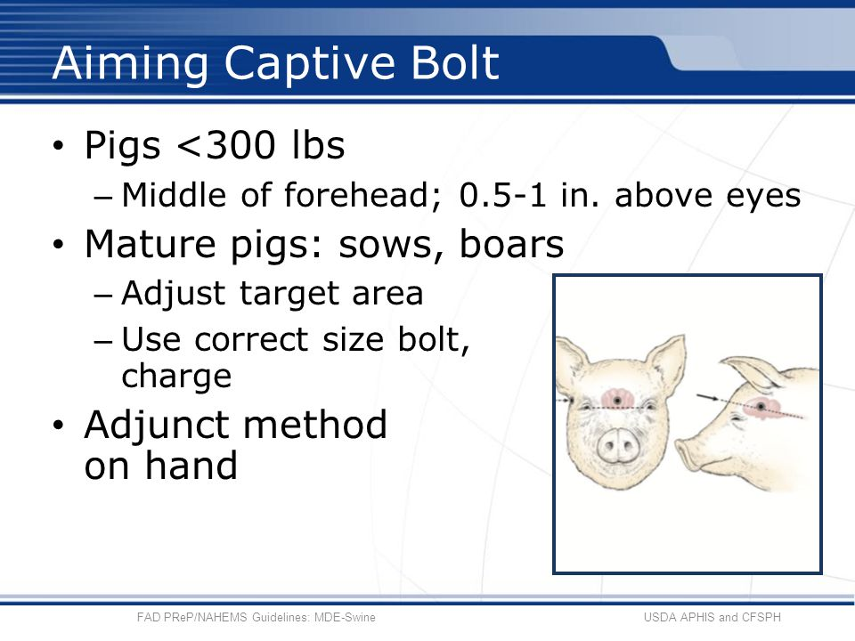 Pigs <300 lbs – Middle of forehead; 0.5-1 in. above eyes Mature pigs: sows, boars – Adjust target area – Use correct size bolt, charge Adjunct method