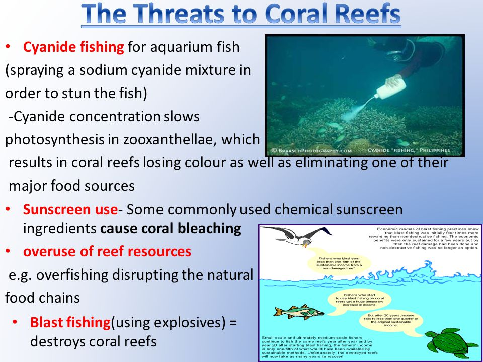 Cyanide fishing for aquarium fish (spraying a sodium cyanide mixture in order to stun the fish) -Cyanide concentration slows photosynthesis in zooxanthellae, which results in coral reefs losing colour as well as eliminating one of their major food sources Sunscreen use- Some commonly used chemical sunscreen ingredients cause coral bleaching overuse of reef resources e.g.