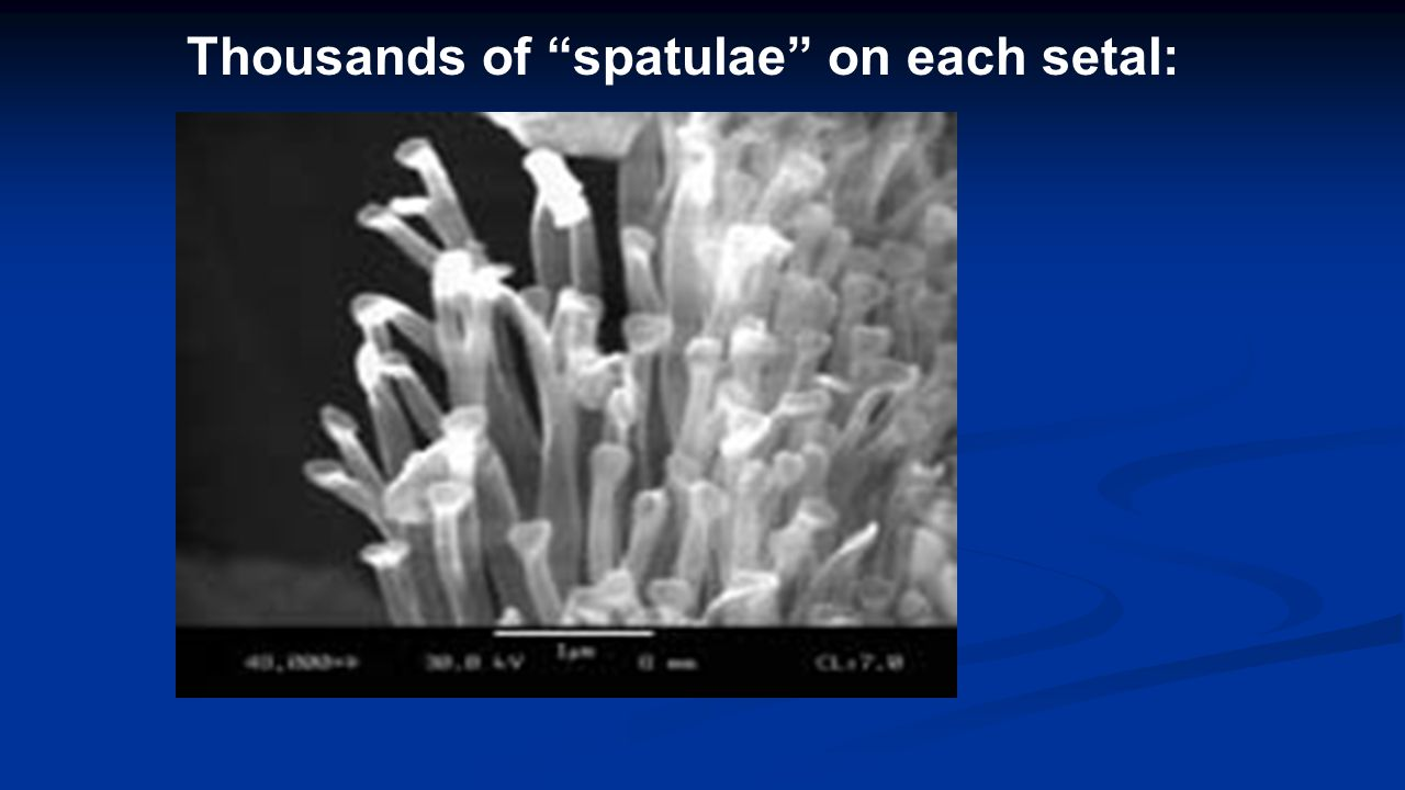 "Thousands of ""spatulae"" on each setal:"