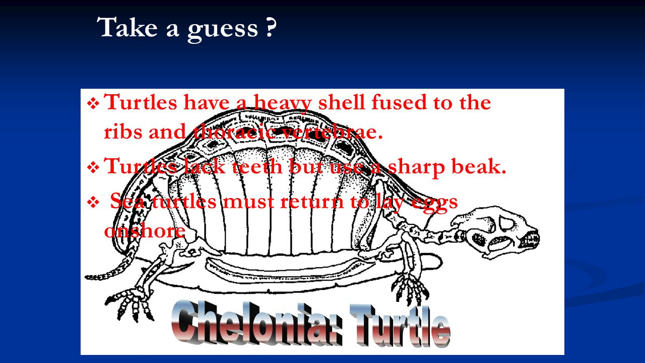Take a guess ?   Turtles have a heavy shell fused to the ribs and thoracic vertebrae.   Turtles lack teeth but use a sharp beak.   Sea turtles m