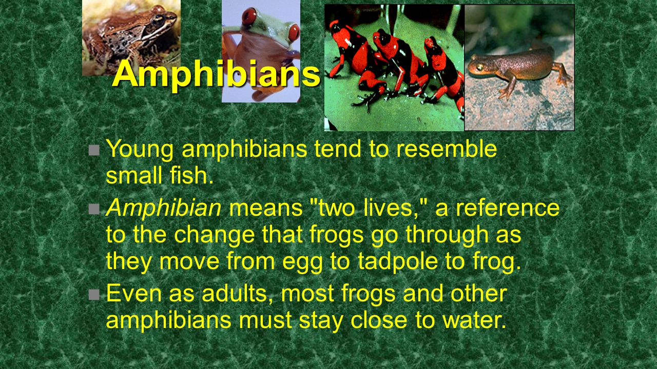 Amphibians Young amphibians tend to resemble. small fish. Amphibian means