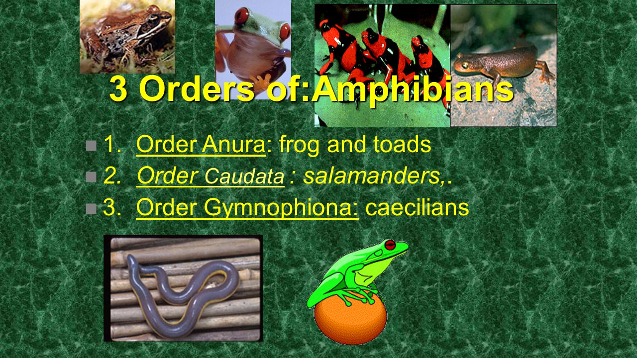 3 Orders of:Amphibians 1. Order Anura: frog and toads 2. Order Caudata : salamanders,. 3. Order Gymnophiona: caecilians