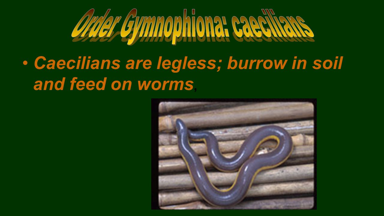 Caecilians are legless; burrow in soil and feed on worms,