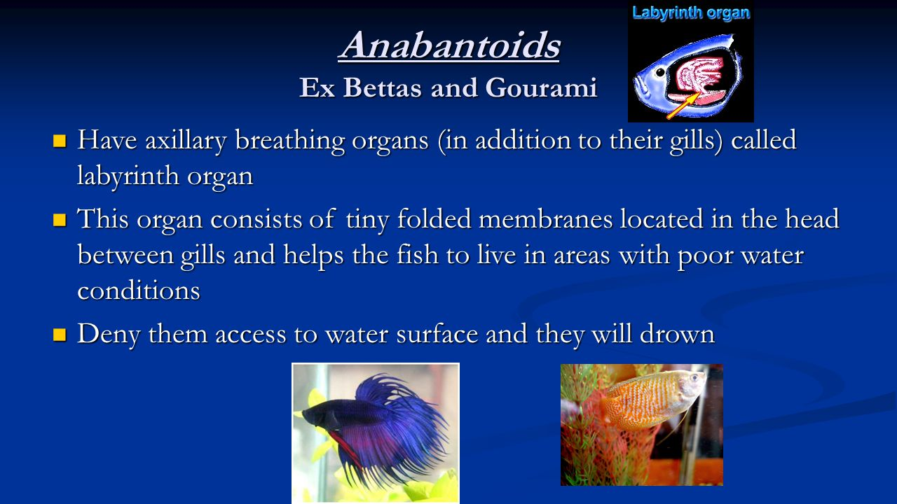 Anabantoids Ex Bettas and Gourami Have axillary breathing organs (in addition to their gills) called labyrinth organ This organ consists of tiny folde