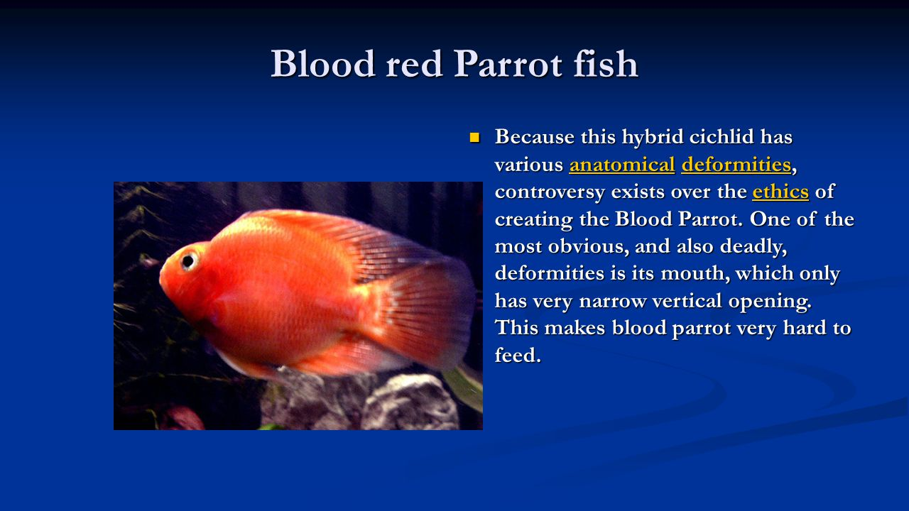 Blood red Parrot fish Because this hybrid cichlid has various anatomical deformities, controversy exists over the ethics of creating the Blood Parrot.