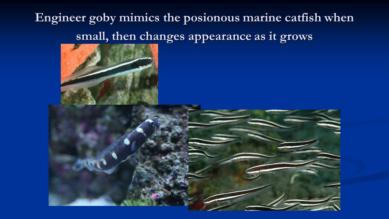 Engineer goby mimics the posionous marine catfish when small, then changes appearance as it grows
