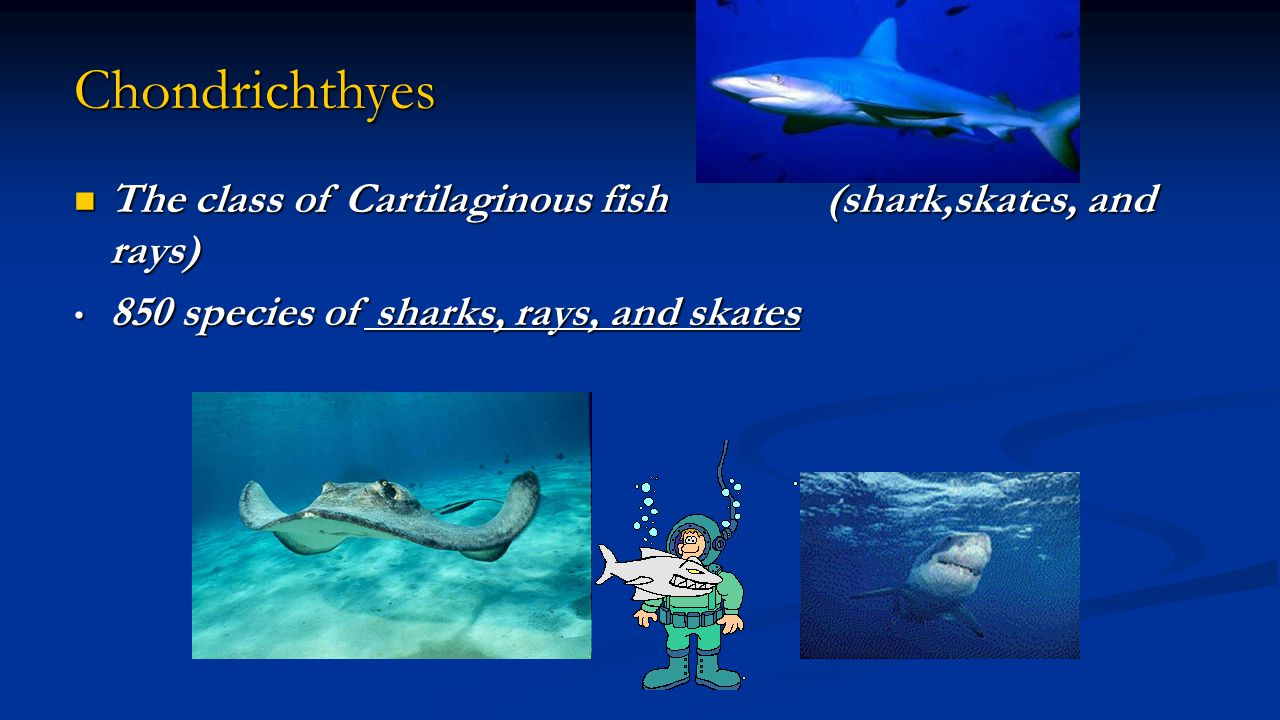 Chondrichthyes The class of Cartilaginous fish (shark,skates, and rays) The class of Cartilaginous fish (shark,skates, and rays) 850 species of sharks