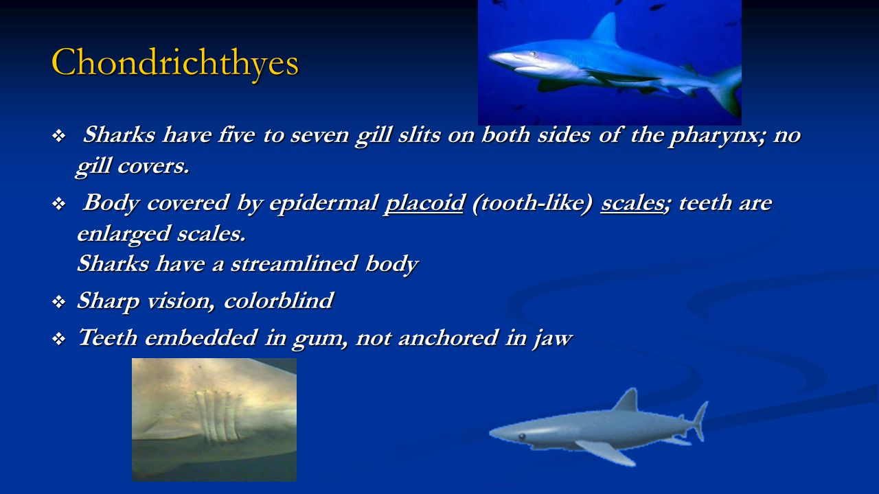 Chondrichthyes  Sharks have five to seven gill slits on both sides of the pharynx; no gill covers.  Body covered by epidermal placoid (tooth-like) s