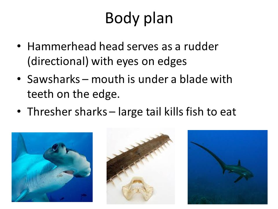 Body plan Hammerhead head serves as a rudder (directional) with eyes on edges Sawsharks – mouth is under a blade with teeth on the edge.