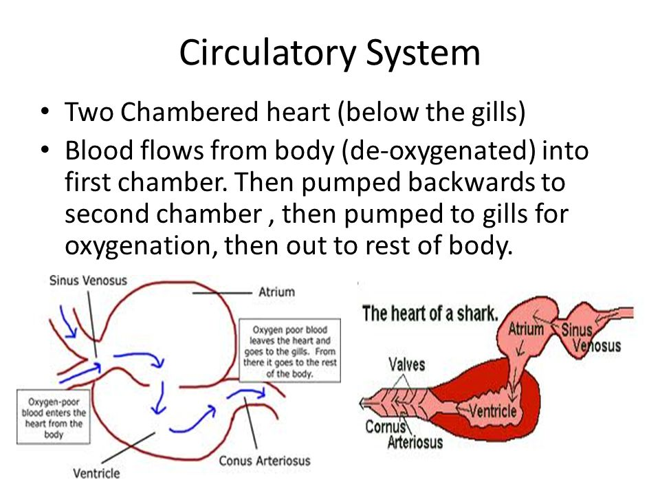Circulatory System Two Chambered heart (below the gills) Blood flows from body (de-oxygenated) into first chamber. Then pumped backwards to second cha