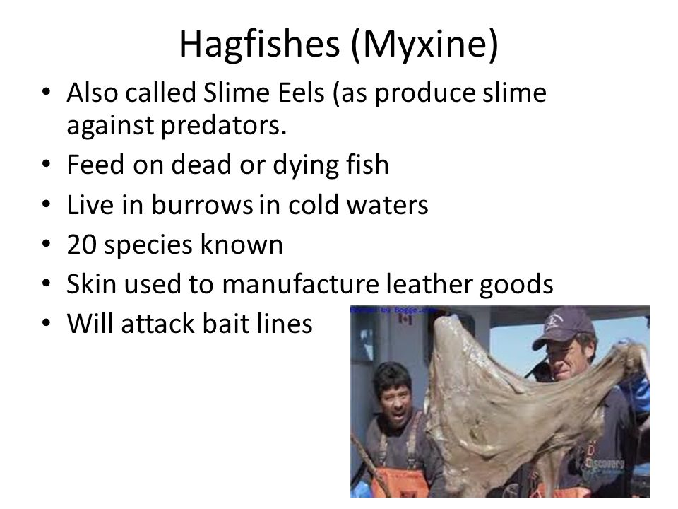 Hagfishes (Myxine) Also called Slime Eels (as produce slime against predators. Feed on dead or dying fish Live in burrows in cold waters 20 species kn