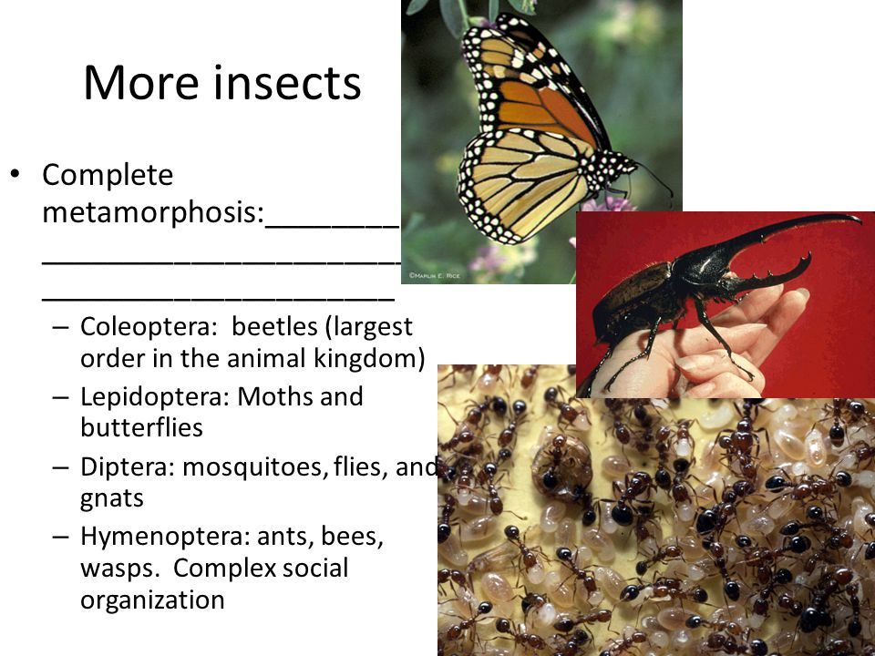 More insects Complete metamorphosis:________ _______________________ _____________________ – Coleoptera: beetles (largest order in the animal kingdom) – Lepidoptera: Moths and butterflies – Diptera: mosquitoes, flies, and gnats – Hymenoptera: ants, bees, wasps.