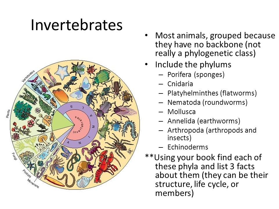 Invertebrates Most animals, grouped because they have no backbone (not really a phylogenetic class) Include the phylums – Porifera (sponges) – Cnidaria – Platyhelminthes (flatworms) – Nematoda (roundworms) – Mollusca – Annelida (earthworms) – Arthropoda (arthropods and insects) – Echinoderms **Using your book find each of these phyla and list 3 facts about them (they can be their structure, life cycle, or members)