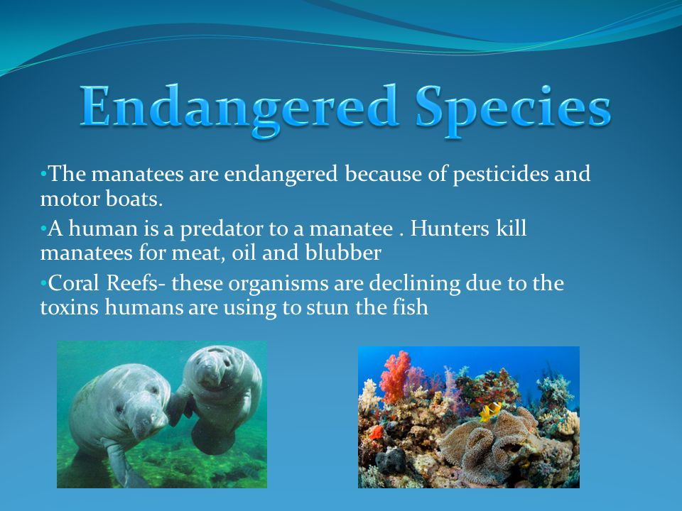The manatees are endangered because of pesticides and motor boats.