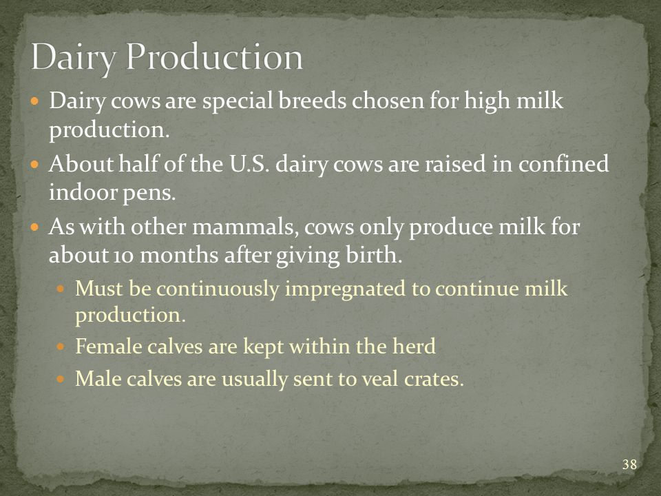 Dairy cows are special breeds chosen for high milk production.