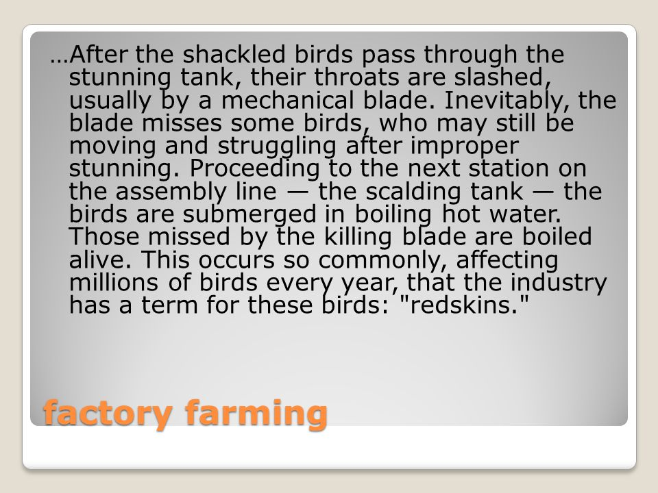factory farming …After the shackled birds pass through the stunning tank, their throats are slashed, usually by a mechanical blade.
