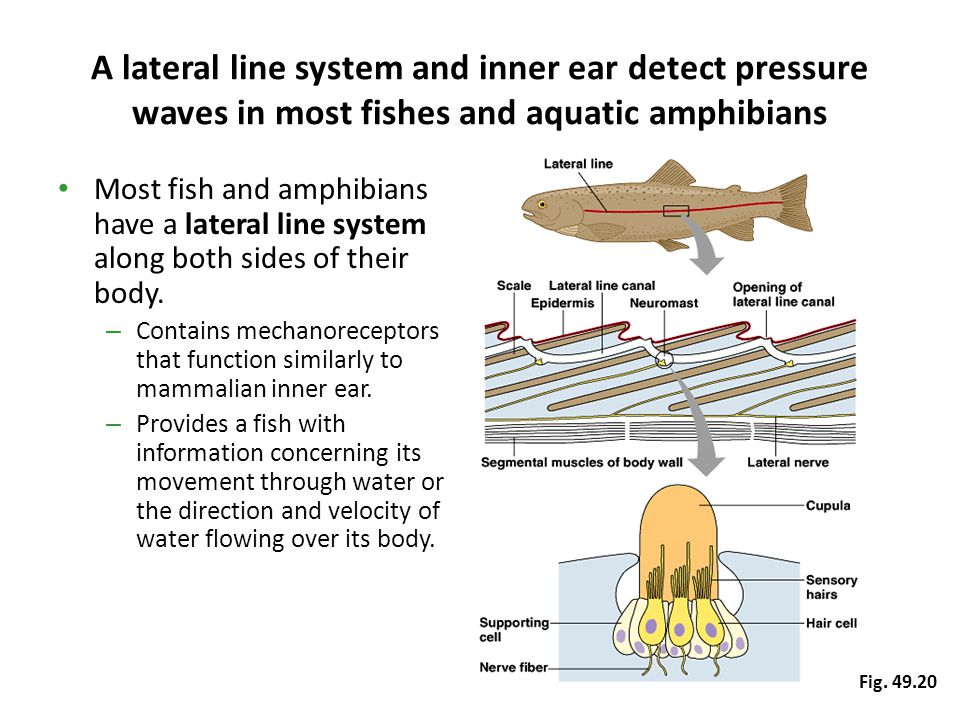 A lateral line system and inner ear detect pressure waves in most fishes and aquatic amphibians Most fish and amphibians have a lateral line system al