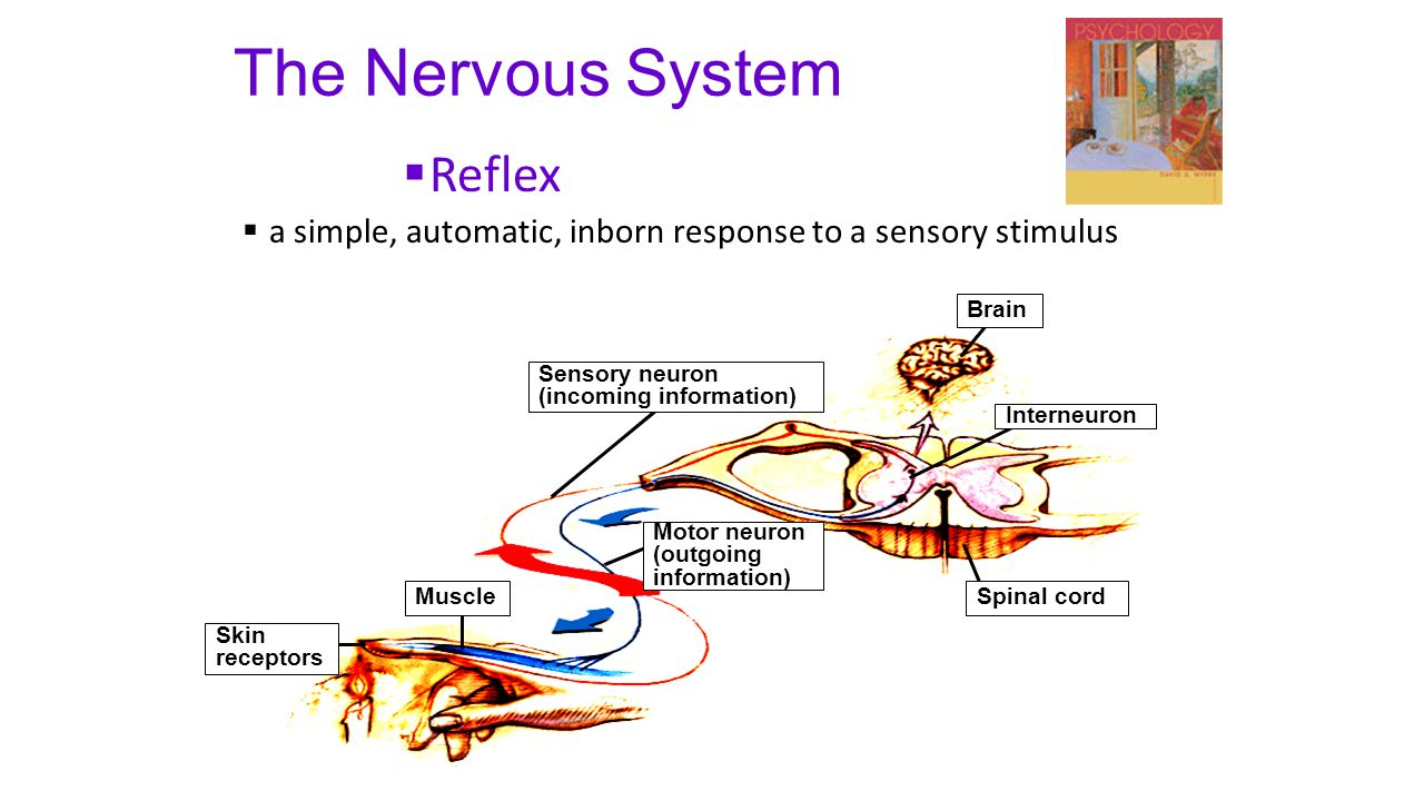 The Nervous System  Reflex  a simple, automatic, inborn response to a sensory stimulus Skin receptors Muscle Sensory neuron (incoming information) M