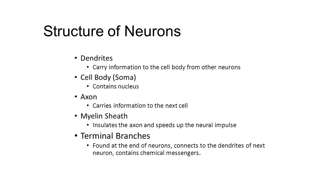 Structure of Neurons Dendrites Carry information to the cell body from other neurons Cell Body (Soma) Contains nucleus Axon Carries information to the