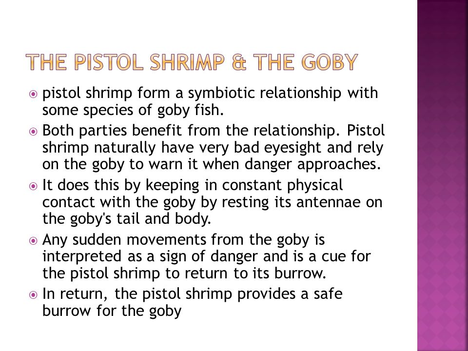  pistol shrimp form a symbiotic relationship with some species of goby fish.